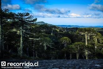parque nacional nahuelbuta - araucanía - chile - araucarias - bosques